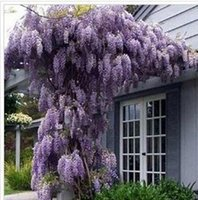 sementes de flores roxas venda por atacado-30 sementes / pacote venda quente roxo glicínias sementes de flores para jardim de casa diy