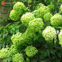 ingrosso piante radiazioni-Semi di ortensia verde in vaso Piantagione di fiori in balcone è semplice assorbimento di radiazioni 100 particelle / lotto