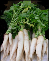 Wholesale Radish Gardening - DAIKON plant Radish seeds, Raphanus sativus (Open Pollinated) Biennial garden decoration plant 20pcs D54