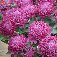 Wholesale Purple Chrysanthemum Flower - Balcony Potted Flower Purple Red Chrysanthemum Seeds Beautiful Potted Plant Seed 100 Particles   lot