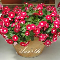 Wholesale Flower Germination - Red Madagascar Periwinkle Vinca Flower 100 Pcs Real Seeds Easy-growing DIY Home Garden Perennial Flowering Plant High Germination Rate