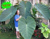 am schnellsten wachsende pflanzen großhandel-100pcs Giant Elephant Ohr Pflanze, frische Colocasia Gigantea, riesige Laub Samen