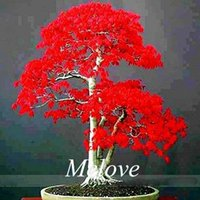 Wholesale 30 Japanese Red Maple Seeds for planting DIY Home Garden Bonsai