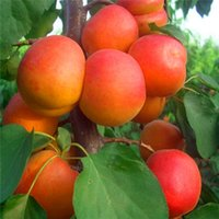 Wholesale Apricot Trees - 5 pcs bag Apricot tree seeds home plant Delicious fruit seeds very big and sweet for home garden plant A026