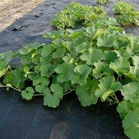 Wholesale Edible Sweets - Gardening 20 Giant Sweet Black Watermelon Seeds Fantastic Best Healthy Edible