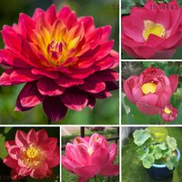 06f19fc479fa 10 RED LOTUS Nymphaea Asian Water Lily Pad Flower Pond Seeds Aquatic plants  Seeds AA