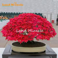 Wholesale trees wholesale red maple - Japanese Red Maple Tree Bonsai Seeds, Acer palmatum, 10seeds Pack, Vibrant Beautifully Delicate Bonsai Tree for Balcony Garden