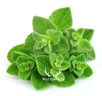 многолетние травы оптовых-500 семян орегано-травы Харди Многолетнее растительное растение для домашнего сада Бонсай