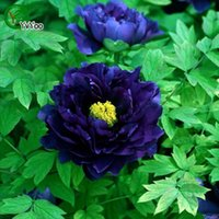 ingrosso semi di bonsai blu-Semi di peonia blu Semi di pianta di bonsai Fiore Molto profumato 20 Particelle / lotto R011