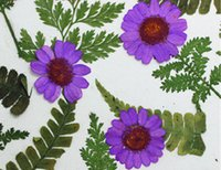 Wholesale Red Flower Nature Wholesale - Nature Plant Chrysanthemum crystal Purple Color Pressed Flower For Holidays DIY Bookmark Home Onament 120Pcs