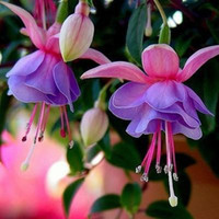 Wholesale Fuchsia Flower Seeds - Free shipping Fuchsia,fuchsia seeds,flower fuchsias seeds - 100pcs