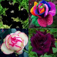 lindas rosas roxas venda por atacado-2016 Frete Grátis Colorido Rainbow Rose Sementes Roxo Vermelho Preto Rosa Rosa Amarela Sementes Planta / Jardim Bela Flor sementes HY1157