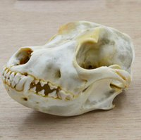 Wholesale great indoors - Great Large Vintage Taxidermy Wild Dog Jackal Coyote Wolf Skull Specimen