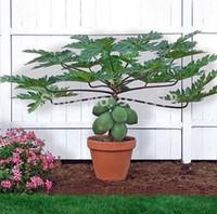 Wholesale Fruit Containers - Fruit seeds Dwarf hovey Papaya Tree Plant Container Bonsai garden decoration plant 50pcs E04