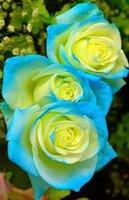 çiçek tohumları holland toptan satış-100 Adet / paket Nadir Hollanda Gül Tohumları Bahçe Dekorasyon Bonsai Çiçek Tohumları D0010110