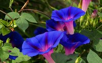 Wholesale Morning Glory Ipomoea - New Rare MORNING GLORY MIXED COLORS Ipomoea Purpurea - 100 Flower Seeds Free Shipping