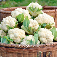 Wholesale cauliflower seeds for sale - Group buy White Cauliflower Vegetable Seeds Easy growing Non Gmo Winter Hardy Heirloom Vegetable Seed