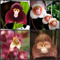 Wholesale Wholesale Hot Monkey - Hot selling Peru Monkey Face Orchid Seeds Potted flower seeds Orchis Simia Senior Phalaenopsis Bonsai Plants for home garden flower planter