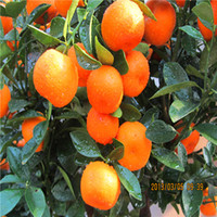 ingrosso semi di bonsai arancione-Vendita calda 30 pz / borsa Arancione rara semi di frutta bonsai pianta casa giardino S008