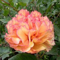 Wholesale Peonies Seeds - New Rare Organic Fire & Snow Peony Flower Seeds 5pcs