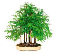 sementes de árvores china venda por atacado-Metasequoia Dawn Redwood 100 Sementes DIY Casa Jardim Bonsai Planta Perene Atraente