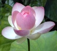 semillas de nelumbo al por mayor-LUZ ROSA Semillas de loto nelumbo nucifera plantas de estanque no lirio de agua decoración de jardín planta 10 unids F135