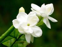 Wholesale Organic Jasmine Flowers - Wholesale - 25 SEEDS ARABIAN JASMINE JUSMINUM SAMBAC WHITE SHRUB FLOWER SEEDS Double petal Free shipping