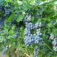 Fruit Seeds organic blueberry plants - Organic Fruit Seeds Blueberry seeds Senior Courtyard Plants Delicious Fruit Seeds Particles b003