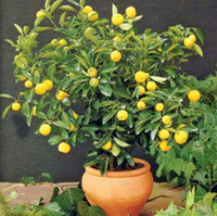 Wholesale Lemon Decorations - Rare Dwarf Lemon Tree Seeds Bonsai Fruit Plant Organic garden decoration plant 30pcs D10
