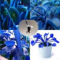 ingrosso venus semi-500Pcs Blue Seeds Dionaea Muscipula Giant Clip Venus Acchiappamosche Semi di fiori bonsai