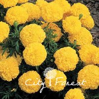 Wholesale Marigold Plants - Hybrid Marigold Golden Yellow Tagetes Flower Big Flower 100 Seeds   Bag Easy to Grow Great Cut Flower or Landscape Bonsai Pot Plant Variety