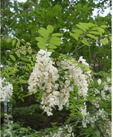 Organic black locusts - seeds BLACK LOCUST TREE Robinia pseudoacacia