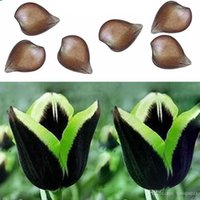 Wholesale 2Pcs Rare Green Edge Black Dragon tulip bulb Not Seed Beautiful Home Decor New