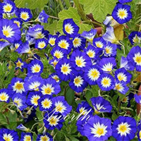 Wholesale Morning Glories Plants - Dwarf Morning Glory Convolvulus Tricolor 20 Seeds   Bag Easy to Grow from Seeds Drought-tolerant Perennial Garden Landscape Flowering Plant