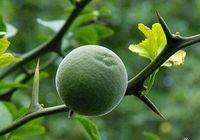 ingrosso semi di frutta nana-Commercio all'ingrosso - Poncirus trifoliata HARDY TRIFOLIATE ARANCIONE Albero 25 SEMI RARO spedizione gratuita