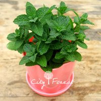 Wholesale Growing Perennials - 200 Spearmint Vegetable Mentha spicata Herb Mint Perennial Seeds Easy-growing in pot or bonsai