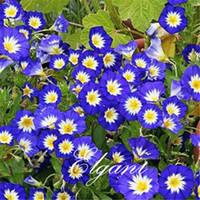 семена славы оптовых-Гном Morning Glory Convolvulus Tricolor 20 Seeds Легкорастущий Многолетник, устойчивый к засухе