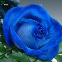 Wholesale Annual Garden Plants - Beautiful Blue rose Seeds Bonsai Seeds Garden Plants Flower Seeds Annual Herb 30 Particles   lot D013