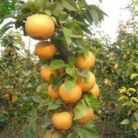 ingrosso semi di pera-Semi di pero Semi nutrienti e deliziosi Semi di frutta Fai da te Casa Albero dei bonsai 50 Particelle / lotto G021