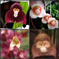 ingrosso bonsai di gelsomino-Vendita calda Perù Monkey Face Orchid Seeds Semi di fiori in vaso Orchis Simia Senior Phalaenopsis Bonsai Piante per la casa giardino fioriera