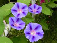 Wholesale Morning Glory Ipomoea - Sky Blue Shibori Ipomoea Purpurea Morning Glory garden decoration flower 20pcs D56