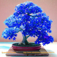 Wholesale Wholesale Real Tree - 100% Real Japanese Ghost Blue Maple Tree Bonsai Seeds, 10 Seeds Pack, Acer palmatum atropurpureum, Bonsai SOW ALL YEAR