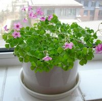 Wholesale Four Leaf Seeds Grow Your Own Luck leaf Seed Clover Summer Indoor Potted Plants Flowers Summer Flowers Kinds Of clover Seed HY1164