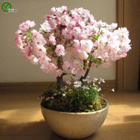 ingrosso seme di ciliegio-Cherry blossoms Seeds Flower Seeds Pianta bonsai da interno 10 particelle / lotto D017