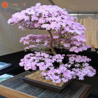 ingrosso semi di albero ornamentali-Japanese Sakura Seeds Bonsai Flower Cherry Blossoms Cherry Tree Ornamental Plant 10 Particles / lot