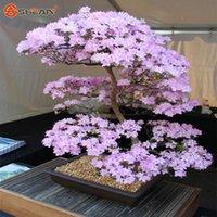 zierblumen großhandel-Japanische Sakura Samen Bonsai Blume Kirschblüten Kirschbaum Zierpflanze 10 Partikel / lot