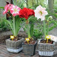 ingrosso fiori da giardino comuni-Semi di Amaryllis semi amaryllis economici barbados giglio in vaso semi di bonsai balcone fiore 50 pz / lotto spedizione gratuita
