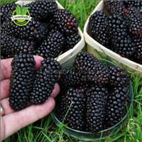 böğürtlen meyveleri toptan satış-Büyük promosyon 100 Thornless Böğürtlen Tohumları, lezzetli, besleyici, tatlı, doğal aperatif, Yıllık bahçe veya pot meyve