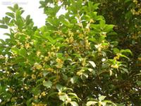 Wholesale Osmanthus Fragrans - Wholesale - TEA SWEET OLIVE Osmanthus fragrans - 50 seeds MIX colors Free shipping