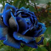 semillas de loto acuaticas al por mayor-Midnight Rose Semillas más altas Color raro Azul con Semilla de rosa negra Ideal Bricolaje Jardín de flores en casa 120 PCS